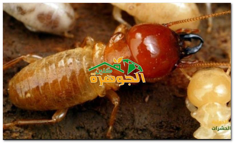 أفضل شركة إبادة النمل الأبيض في الاحساء