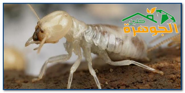 شركة مكافحة حشرات بجدة النمل الأبيض