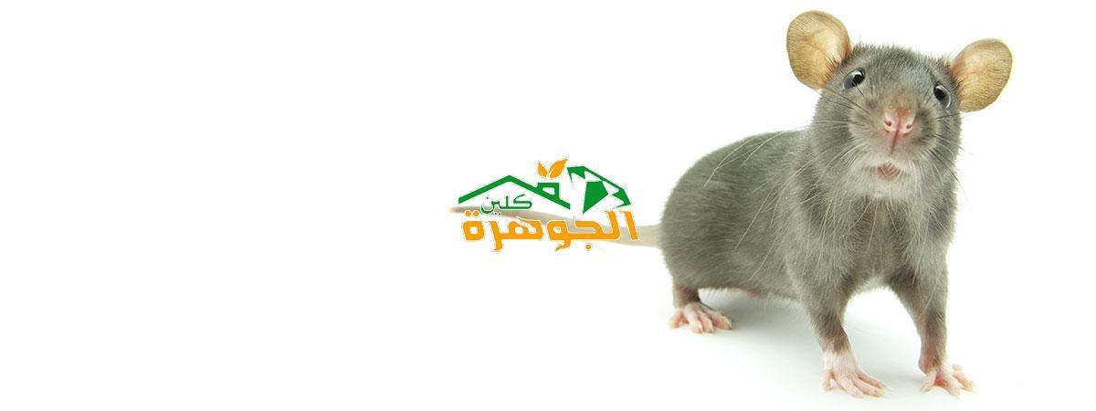 شركة رش الفئران بالمدينة